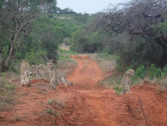 Phinda Private Game Reserve, Südafrika: Cheetahs off on the hunt
