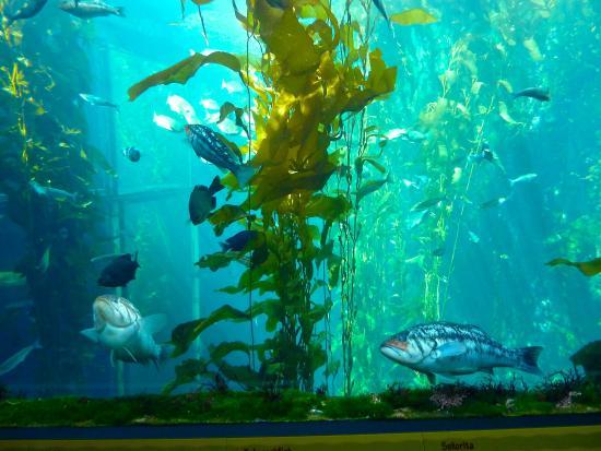 Kelp Forest Picture Of Monterey Bay Aquarium Monterey Tripadvisor