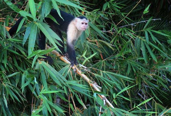 Xplora Panama Day Tours: A white-faced Capuchin Monkey comes down to see our boat.