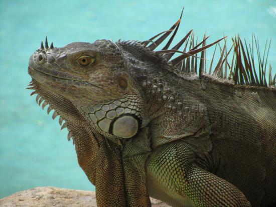 Hotel Capitan Suizo: Iguana