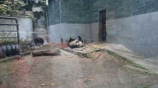 Panda World: 寝るパンダ