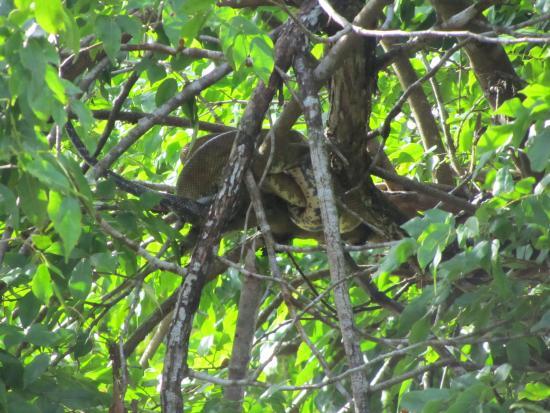Playa Nicuesa Rainforest Lodge: Boa during Mangrove tour