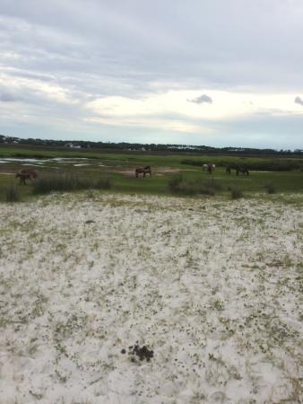 Cedar Island, NC: The wild horses you see on the island