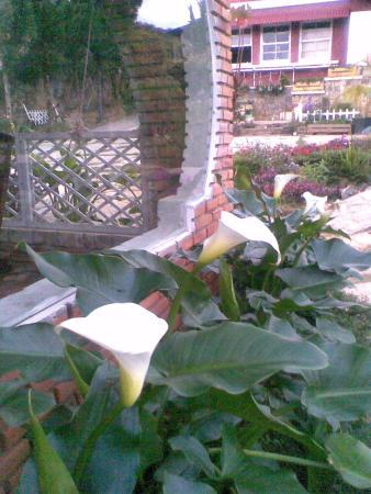 Yen Gia Quan : Madonna lily plant