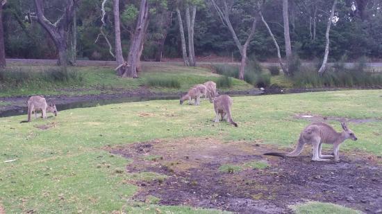 Kioloa, أستراليا: Canguri