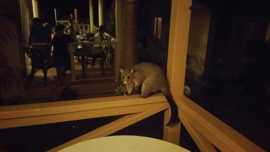 Kioloa, أستراليا: Opossum