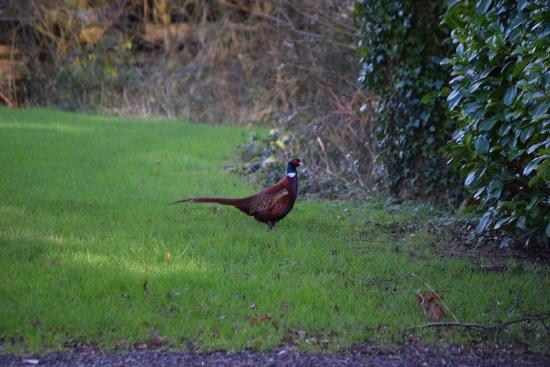 Waterrow, UK: one of the pheasants on the park