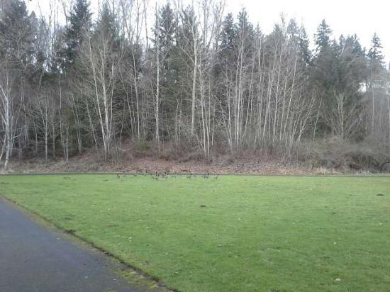 Salmon Creek Park: View with geese on lawn