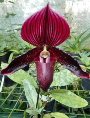 orquidea negra fotografía de entre flores medellín tripadvisor