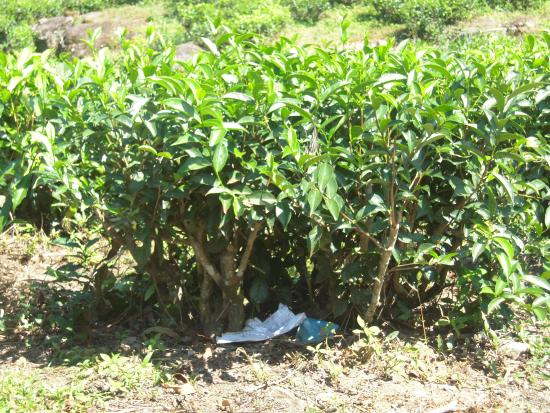 Bogawantalawa Valley: pianta di thè