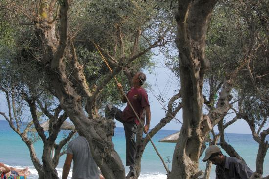 Atlantica Eleon Grand Resort & Spa: Harvesting the Olives in the grove by the beach