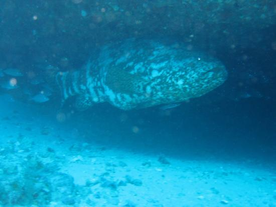 Jupiter, فلوريدا: gaint Grouper