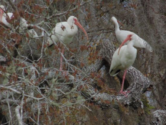 Eustis, Φλόριντα: ibis
