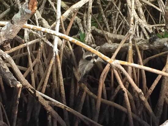 Jungle Erv's Everglades Airboat Tours: Mangrove