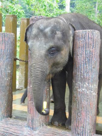 how to get to kuala gandah elephant sanctuary