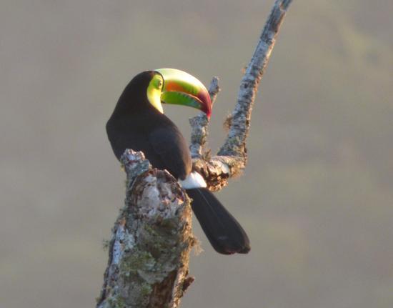 Monteverde, Costa Rica: Un hermoso Tucan desde el mirador de Ficus Trails