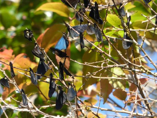 Monteverde, Costa Rica: Beautiful butterflies taking a sun bath at Ficus Trails