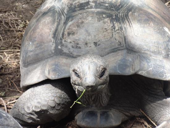 Port Glaud, Seychelles: Tortues terrestres du jardin