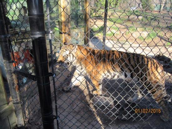 Greensboro, Carolina del Norte: Tigers greet visitors.