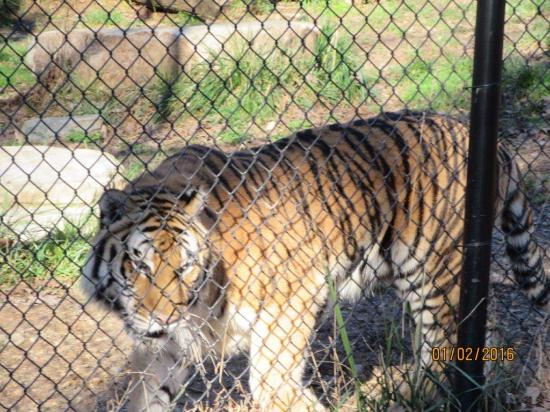 Greensboro, Carolina del Norte: Beware the tiger 'spray' zone.