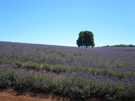 Tasmania, Australia: ちょっと北海道の富良野みたいな風景ですね