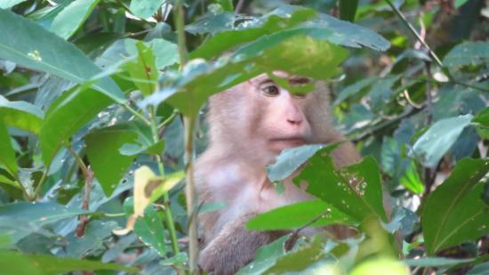 Udong, Cambodge : サル
