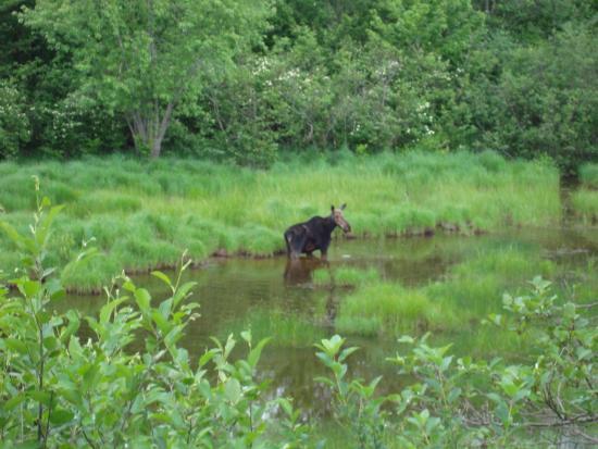Errol, Nueva Hampshire: Moose in the Great North Woods!