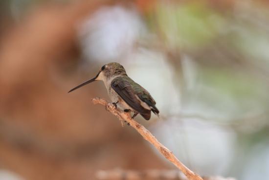 Watchman Campground: Kolibri brütet im Baum über Stellplatz
