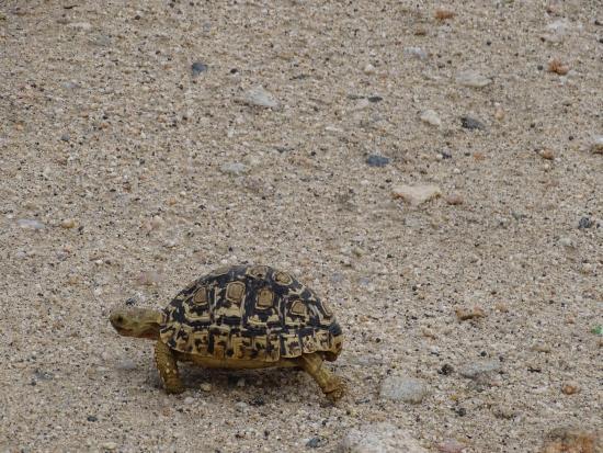 Balule Private Game Reserve, Republika Południowej Afryki: Tortoise
