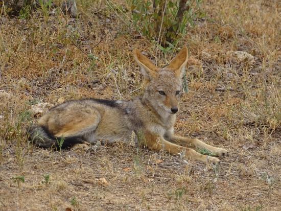 Balule Private Game Reserve, Republika Południowej Afryki: Black backed jackal