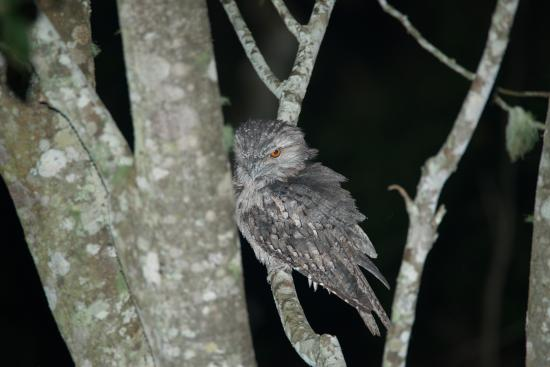 Montville Grove: Tawny Frogmouth viewed from balcony
