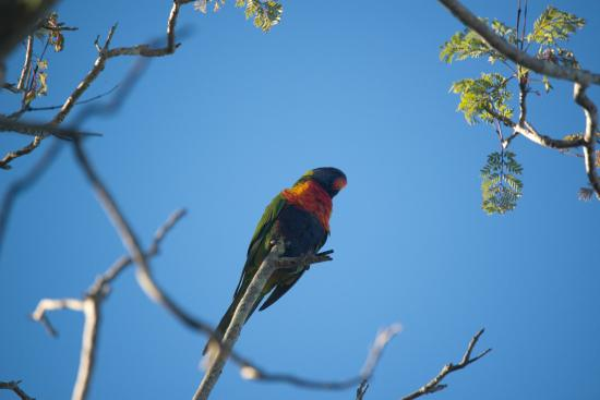 Montville Grove: Rainbow Lorikeet - Common in Grove forest
