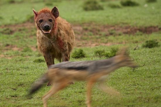 Porini Lion Camp: hyena and jackal