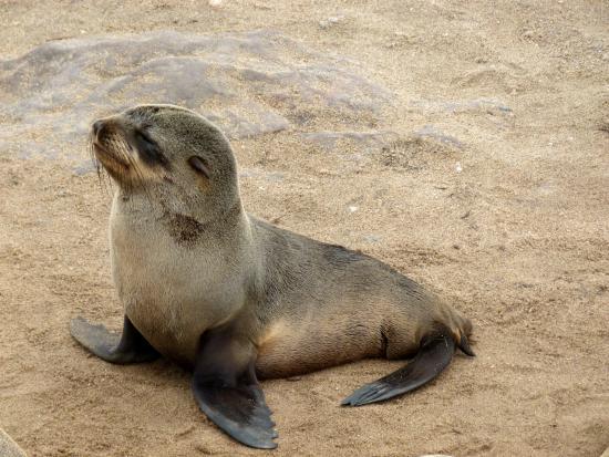 Erongo Region, นามิเบีย: foca bebe