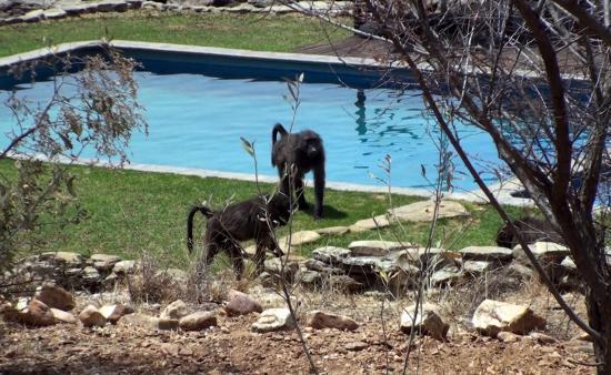 N/a'an ku se Lodge and Wildlife Sanctuary: les babouins autour de la piscine