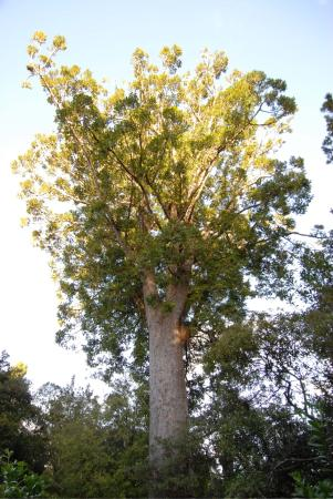 Waipoua Forest Kauri Tour - Mydo New Zealand : Kauri Bäume mit endemischen Pflanzen