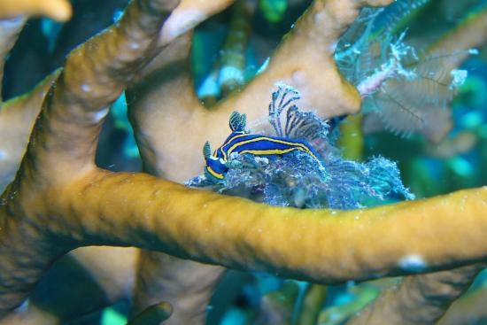 Pohnpei, Mikronezya Federal Devletleri: Tiny nudibranch.