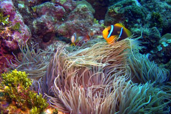 Pohnpei, Federated States of Micronesia: Anemonefish
