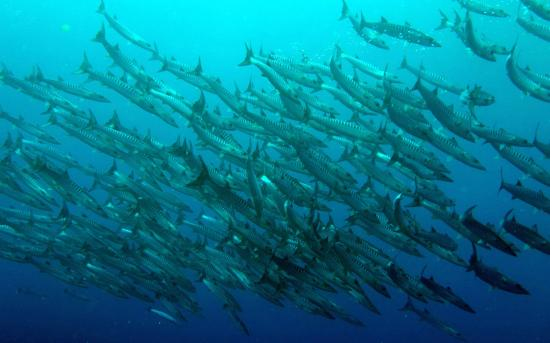 Pohnpei, Mikronezya Federal Devletleri: Schooling Barracuda.