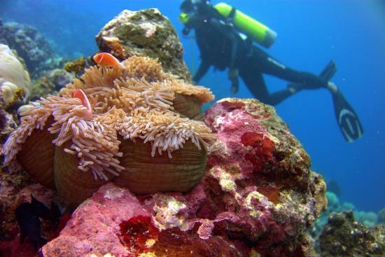 Pohnpei, Mikronezya Federal Devletleri: Pink anemonefish.