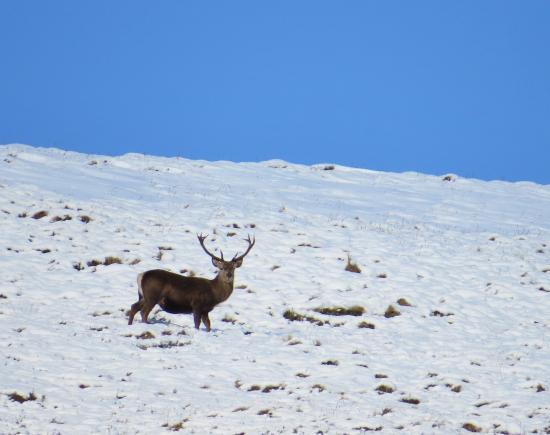 Aviemore, UK: Red Deer Stags