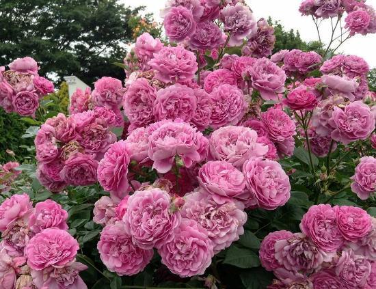 Rose rampicanti foto di il giardino segreto airola - Giardino con rose ...
