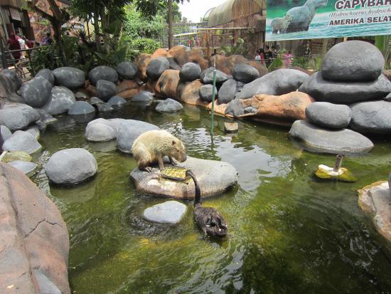 Black Swan And Berang Berang Picture Of Batu Secret Zoo Jawa