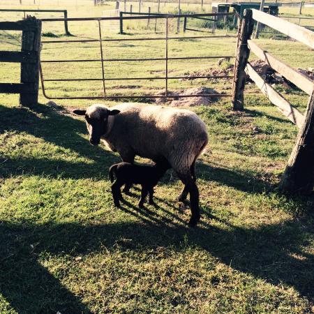 Beaudesert, Australia: Newborn lamb