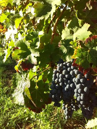 Plassac, فرنسا: Les raisins à pleine maturité