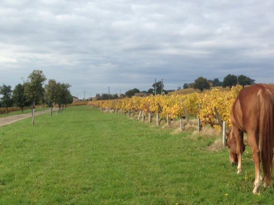 Plassac, ฝรั่งเศส: le désherbant naturel! Viticulture raisonnée @ MonconseilGazin