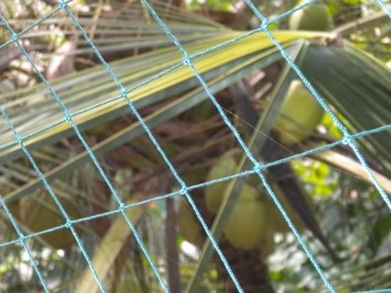 Aluva, Indien: Coconut tree full of Coconuts