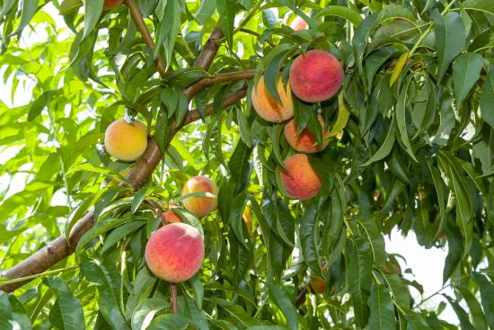 Shelbyville, Κεντάκι: Fresh picked, juicy peaches July-early September
