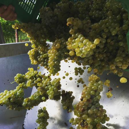 Monte San Quirico, Italija: harvest grapes