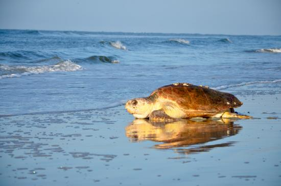 Fripp Island, Carolina del Sur: Loggerhead mama returning to the ocean.